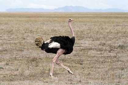 ostrich_cc.inart